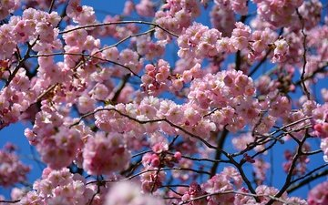 the sky, flowering, spring, sakura