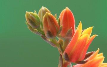 цветок, лепестки, растение, соцветие, каланхоэ, ali de niese