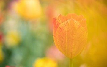 цветок, лепестки, размытость, тюльпан
