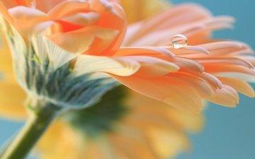 цветок, роса, капля, лепестки, гербера