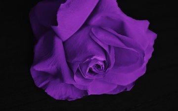цветок, роза, лепестки, фиолетовый, черный фон