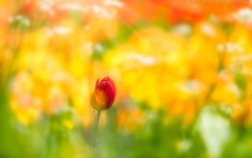фон, цветок, размытость, весна, тюльпан