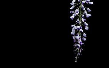 цветок, черный фон, глициния, вистерия