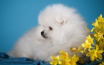цветы, белый, собака, щенок, милый, шпиц