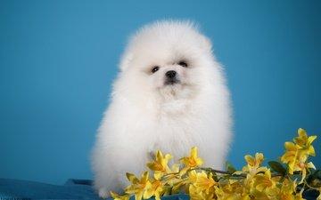 глаза, цветы, мордочка, взгляд, белый, собака, щенок, шпиц