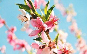 цветы, цветение, макро, весна, ветвь, персиковое дерево