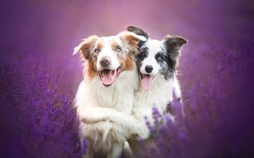flowers, lavender, friendship, friends, dogs, australian shepherd, the border collie