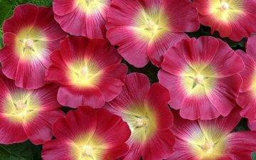 цветы, лепестки, мальва