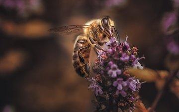 цветы, макро, насекомое, фон, лаванда, пчела