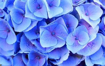 цветы, макро, лепестки, гортензия