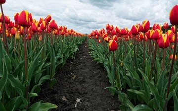 небо, цветы, облака, бутоны, поле, весна, тюльпаны