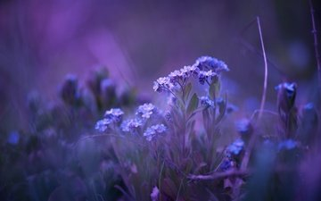 цветы, природа, фон, незабудки, matthias stiefel