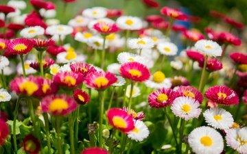 цветы, природа, разноцветные, поляна, маргаритки