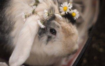 глаза, цветы, мордочка, взгляд, ромашки, кролик, животное, венок
