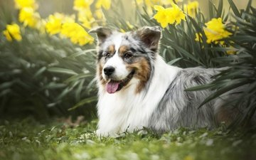 flowers, dog, language, daffodils, australian shepherd, aussie