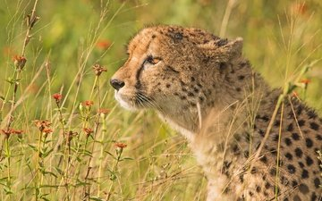 flowers, grass, portrait, profile, cheetah, wild cat
