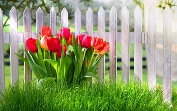 цветы, трава, забор, красные, весна, тюльпаны