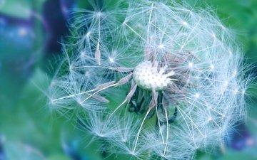 цветы, весна, одуванчик, пушинки, былинки