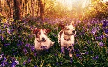 цветы, весна, колокольчики, собаки, макс, солнечный свет, джек-рассел-терьер, kerrie greenfield, пэдди