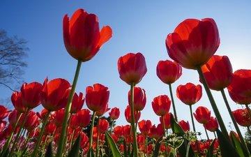 небо, цветы, весна, тюльпаны