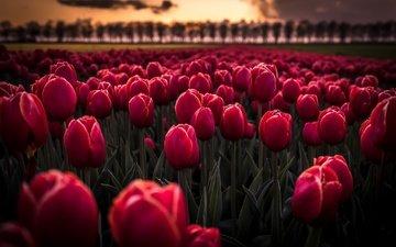 цветы, бутоны, закат, тюльпаны