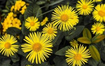 цветы, лепестки, ромашки, желтые