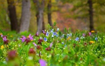 цветы, поляна, луг, водосбор, аквилегия