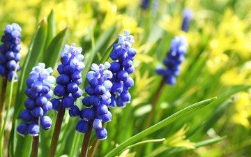 цветы, макро, весна, мускари