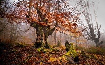 деревья, листва, осень, мох, корни, дымка