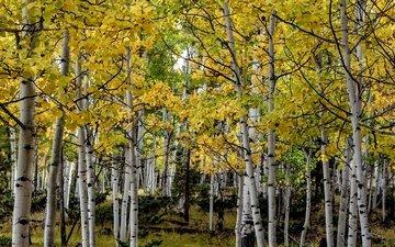 деревья, осень, сша, роща, колорадо, осина