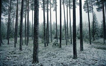 деревья, снег, природа, лес, пейзаж, ветки, стволы, ели