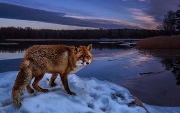 деревья, вечер, река, снег, природа, берег, лес, зима, пейзаж, рыжая, лиса, лисица