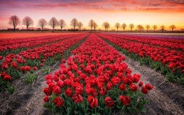 цветы, деревья, закат, поле, тюльпаны