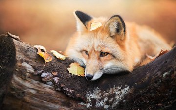 дерево, листья, осень, лиса, лисица, животное, бревно