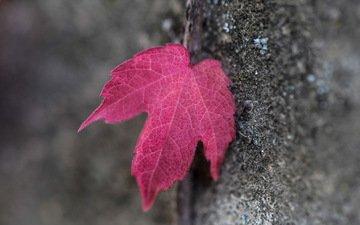 tree, macro, autumn, sheet, bark, red leaf