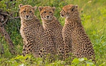 predator, cheetah, wild cat, cheetahs
