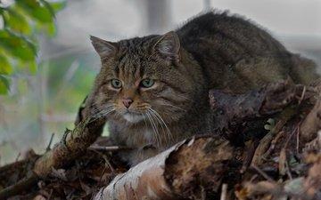 eyes, mustache, look, wild cat, wildcat, forest cat