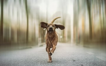 road, dog, ears, running, tail