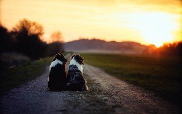 дорога, утро, собаки, бордер-колли