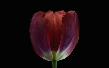 фон, цветок, лепестки, бутон, черный фон, тюльпан