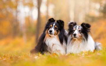 background, a couple, dogs, bokeh, sheltie, shetland sheepdog