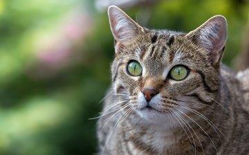 background, portrait, cat, muzzle, look