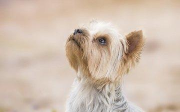 фон, собака, песик, мордашка, йоркширский терьер
