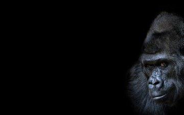фон, взгляд, черный фон, обезьяна, горилла