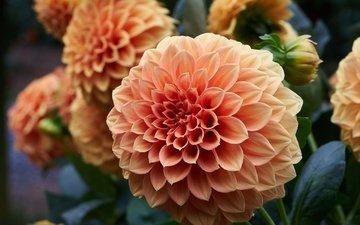 цветы, бутоны, георгины