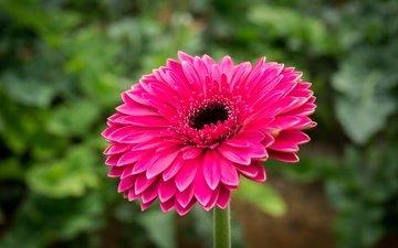 природа, цветок, лепестки, розовый, гербера