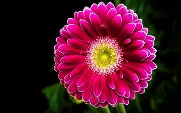 цветок, лепестки, черный фон, гербера