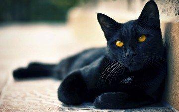 eyes, cat, black, green, ears, tail