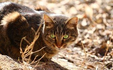 глаза, кот, мордашка, сухая трава