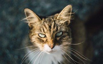 глаза, кот, усы, шерсть, взгляд